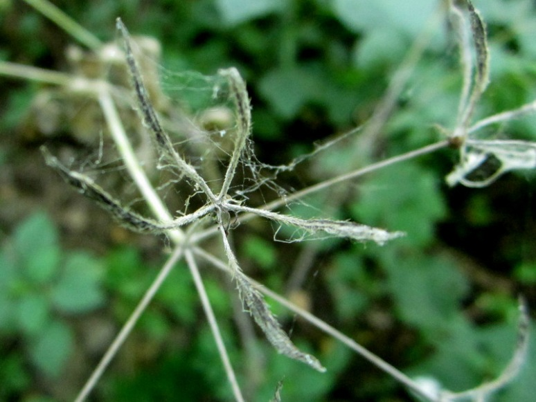 7. Sweet Cicely seeds